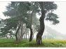 안개낀 소나무