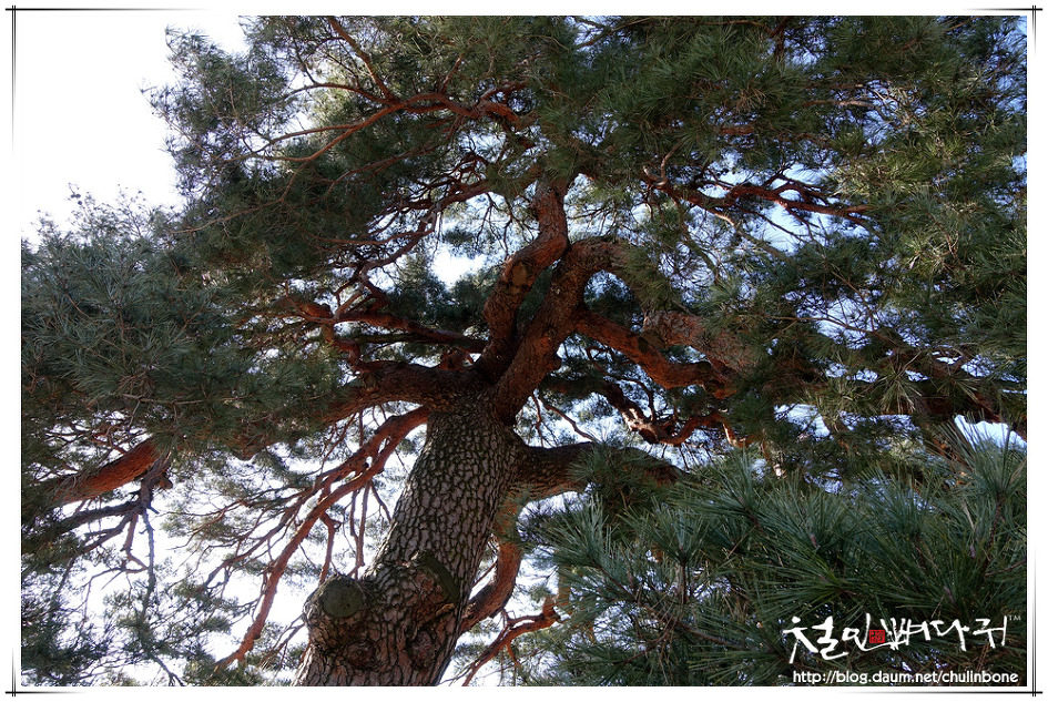 울진 행곡리. 처진소나무(천연기념물제409호)