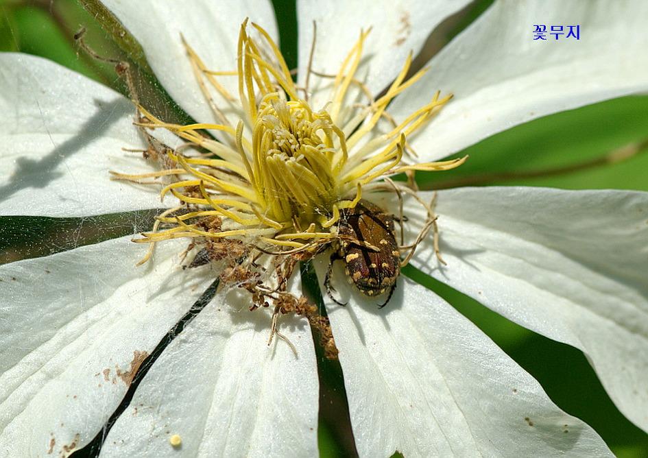 검정꽃무지, 꽃무지